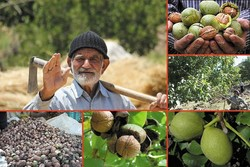 Iran, world's 3rd largest walnut producer