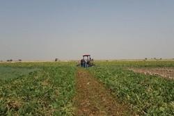 کشاورزی چغندر
