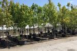 تولید سالانه ۷۰ هزار اصله نهال در نهالستان جنگلی فسا