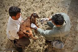 اعزام اکیپ های واکسیناسیون دام درمناطق سیل زده خوزستان