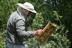 طرح سرشماری زنبورهای عسل استان سمنان اجرا میشود