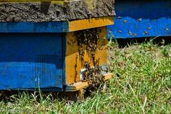 ۱۵۰۰ تن عسل در چهارمحال و بختیاری تولید شد