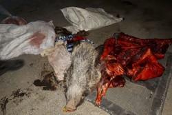 دستگیری ۴ شکارچی غیرمجاز و کشف لاشه ۳ گراز در پلدختر