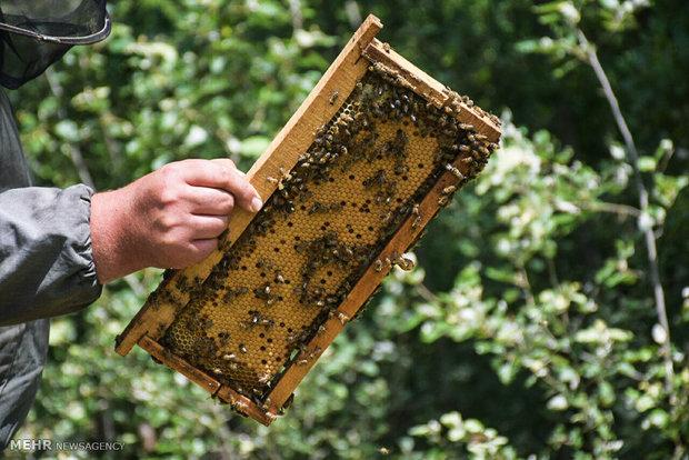 عسل آفتابگردان از انواع عسل طبیعی