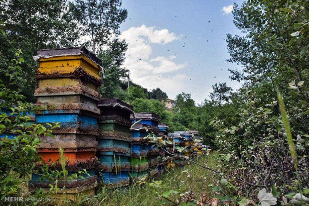 کوچ زنبورها در شمال/ جدال نابرابر زنبورهای بومی و اتریشی