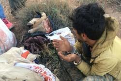 شکار قوچ در مناطق آزاد شاهوار شاهرود/ یک متخلف دستگیر شد