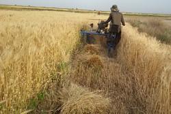خرید گندم از کشاورزان اصفهانی به شکل تضمینی انجام میشود