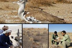 دستدرازی عربها به محیطزیست زیرکوه/هوبره در حال انقراض است