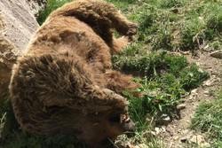 لاشه یک قلاده خرس در منطقه پیر میشی شاهوار شاهرود پیدا شد