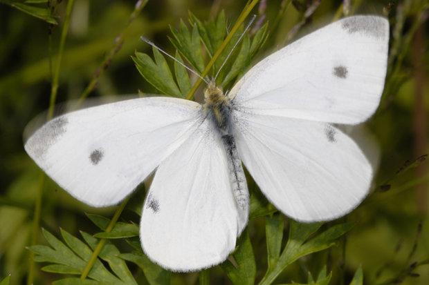 خط و نشان پروانه های سفید برای جنگل های ممسنی