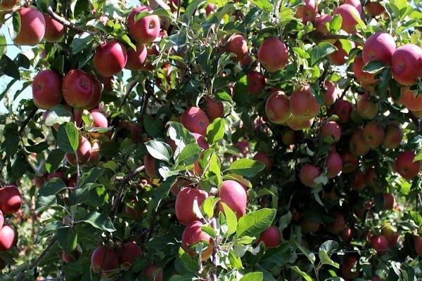 تولید محصولات باغی ۵ درصد افزایش یافت