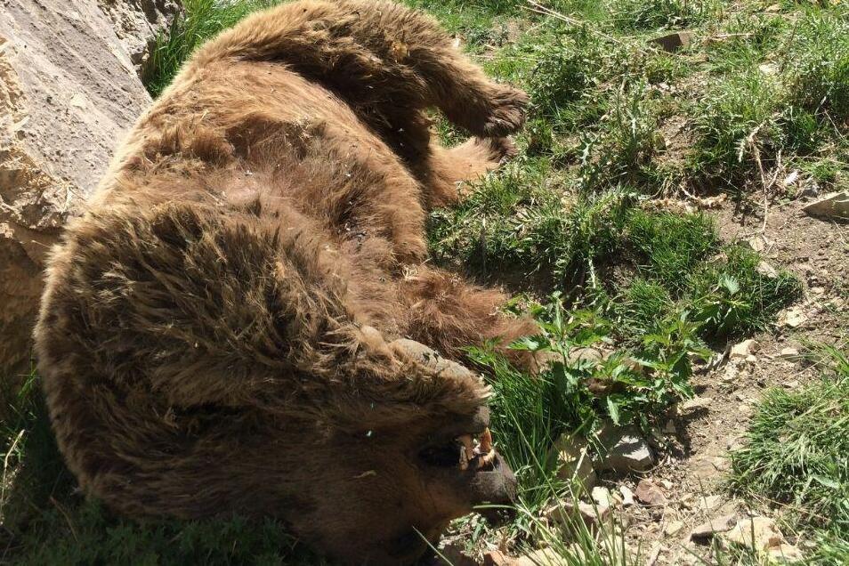 تلف شدن یک قلاده خرس قهوه ای در مریوان