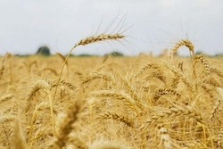 No need to import wheat in current year: official