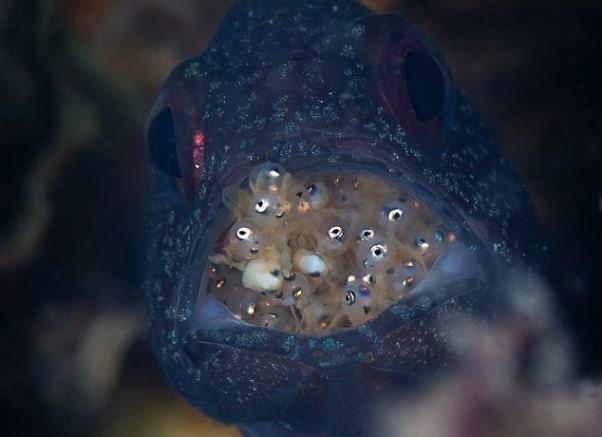 ماهی که فرزندانش را در دهانش حمل می کند