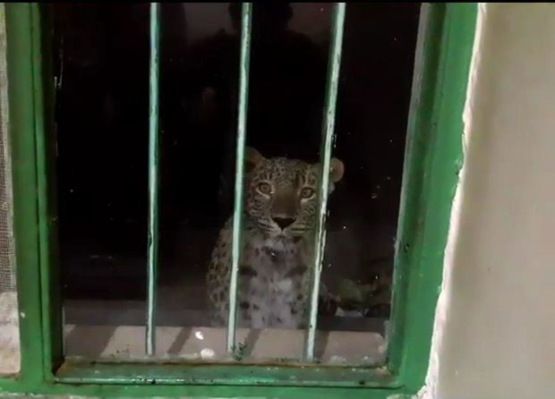 VIDEO: Rare sighting of Persian leopard in Seidva Nat. Park
