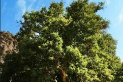 اعلام شماره ثبت درختان کهنسال قزوین در فهرست میراث ملی طبیعی کشور