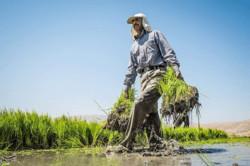 کاشت محصولات آبدوست جرم نیست/ ۴۰۰ میلیون متر مکعب از منابع آبی کم شد