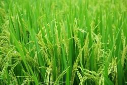 برنج تراریخته وارد ایران نمیشود/مصرف محصولات تراریخته در ۱۹۰کشور