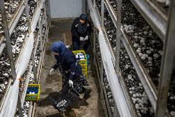 عرضه بیش از ۱ میلیون بسته قارچ خوراکی در بازار با نشان هولوگرام
