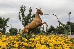 برترین های پانزدهمین جشنواره ملی زیبایی اسب اصیل ترکمن معرفی شدند