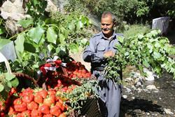 توت فرنگی کردستان