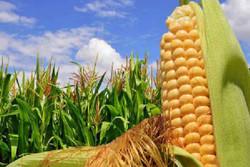 ضریب خوداتکایی ذرت دانه ای به ۱۷ درصد رسید / افزایش تولید جو در کشور