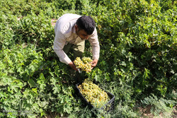 خشکسالی اثر منفی در میزان باروری و تولید انگور اصفهان گذاشته است