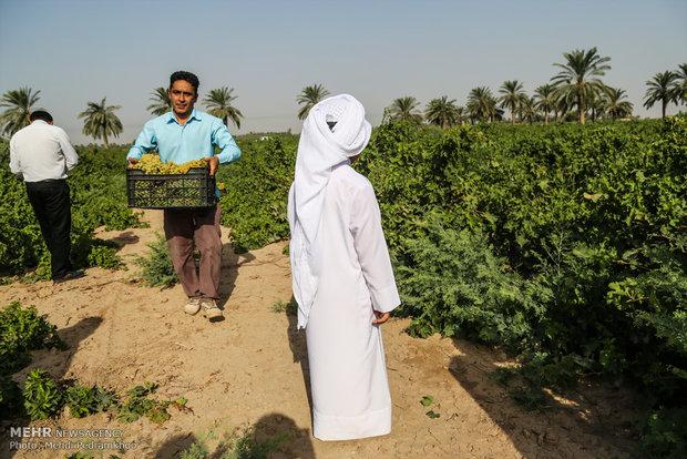 موسم قطف كرم العنب في مدينة كارون الايرانية