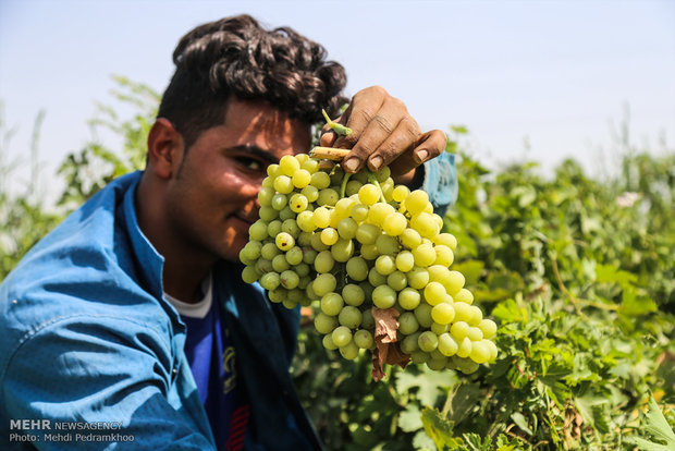 Grape harvesting in Karun county