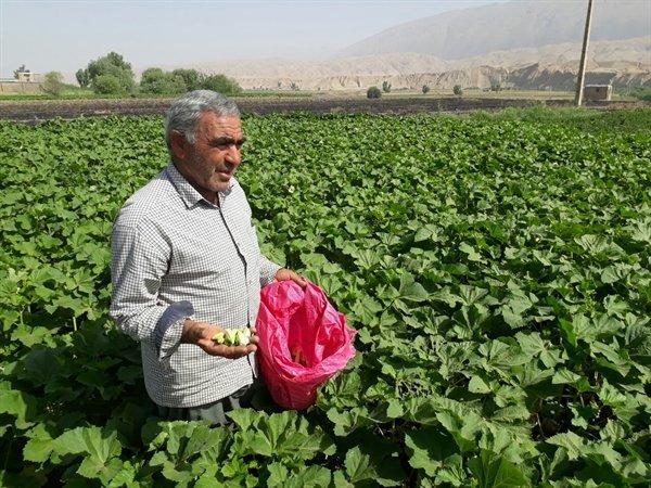 برداشت«بامیه» در  ۷۰ هکتار از اراضی کشاورزی دره شهر آغاز شد