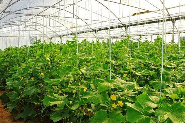 توسعه مجتمع های گلخانه ای در سه منطقه استان ایلام