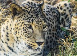 Threat poachers posing to leopards