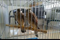 کشف بیش از ۷۰ قطعه پرنده زینتی توسط مرزبانان خوزستان