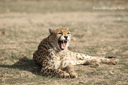 What choices do we have for saving Asiatic cheetahs?