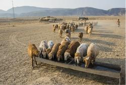 عشایر دامغان سالانه ۱۵۰۰ تن گوشت قرمز تولید میکنند