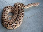 ہندوستان میں ایک اسکول کے کچن سے درجنوں زہریلے سانپ نکل آئے