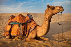 جمعآوری ۴۰ نفر شتر سرگردان در اراضی ملی تالاب صالحیه