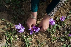 Rise of saffron smuggling; foreign exchange policies cut official export by 45%