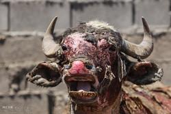 مصائب شور شدن آب برای حیوانات/سوختگی گاومیش ها دیر اطلاع رسانی شد