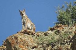 مشاهده گونه نادر سیاه گوش در «آلموبلاغ» اسدآباد