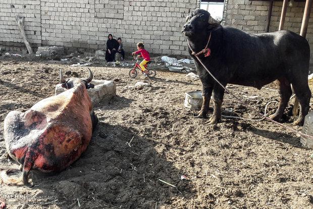 پشت پرده سوختن گاومیشها در هورالعظیم