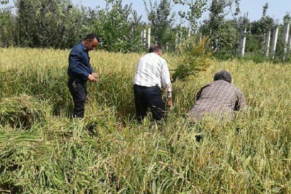 نخستین خوشه های برنج از شالیزارهای فومن برداشت شد