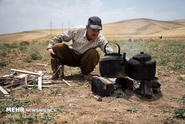Harvesting chickpeas in Urmia's fields