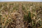 پانی کی کمی کی وجہ سے گنے کی فصل کو 70 فیصد نقصان