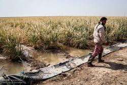 خسارت ۷۰ درصدی به مزارع نیشکر به دلیل بی آبی