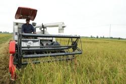 خودداری از برداشت برنج در ۲ روز آینده/ ۵ درصد شالیزارها برداشت شد