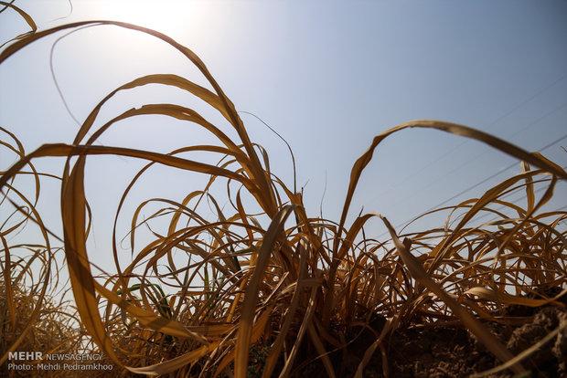 توسعه فناوری تولید غذای دام از سرشاخههای نیشکر