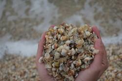 صدف دریایی - کراپشده