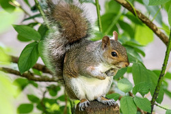 شکار بی رویه سنجاب در فصل بهار/ تخریب زیستگاه حیات وحش را تهدید میکند
