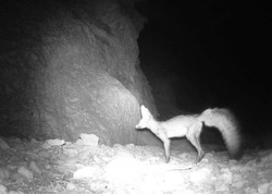 تصویربرداری از «شاه روباه» در منطقه کوه هوای لامرد